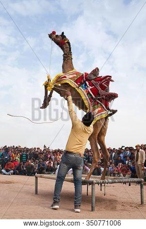 Bikaner, India - January 12, 2019: Dromedary Camel Jumping Up During Camel Festival In Rajasthan Sta
