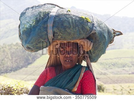 Munnar, India - November 14, 2016: Tea Picker Woman With Bag On Her Head Working In Tea Plantation I
