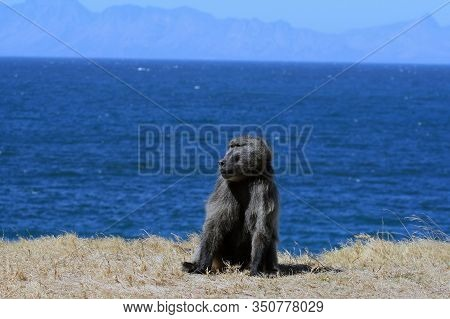 Adult Male Baboon Sits On A Lawn Against The Background Of The Ocean. Chacma Baboons On The Ocean. C
