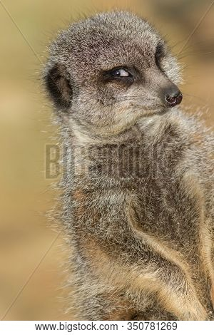 Funny Animal Meme Image Of Photogenic Narcissistic Meerkat Smiling For The Camera. Camera-friendly F