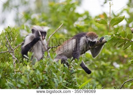 Two Endangered Red Colobus Monkeys (piliocolobus Kirkii) Jozani Rainforest Africa