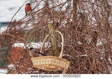 In The Foreground, A Female Bullfinch Is Sitting In A Basket Against A Bush, With The Silhouette Of
