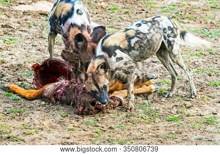 Wild Dogs (painted Dogs) - Lycaon Pictus Feeding On A Recent Puku Kill.  The Dogs Are Ferocious Kill