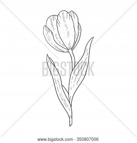 Tulip Hand Drawn Outline Drawing.black And White Image.stylized Image Of A Tulip Flower.one Tulip Is