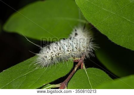 Hickory Tussock Moth Eating A Green Leaf
