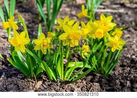A short variety, Tete-a-Tete, of daffodil blooming in the springtime garden.