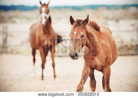 A Clumsy, Curious Sorrel Colt Walks With His Mother On The Farm In The Field, And His Mother Looks A