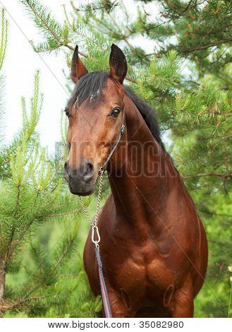 Wonderful Trakehner Stallion In Pine Forest