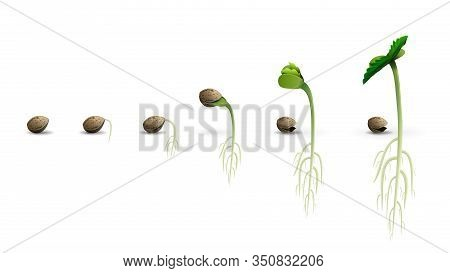 Stages Of Cannabis Seed Germination From Seed To Sprout, Realistic Illustration Isolated On White Ba