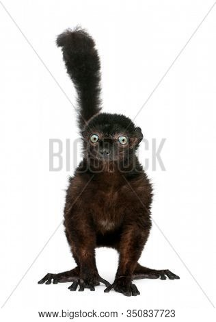 Male Blue-eyed Black Lemur, Eulemur flavifrons, 14 years old, in front of white background