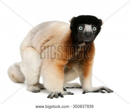Crowned Sifaka, Propithecus coronatus, 14 years old, in front of white background