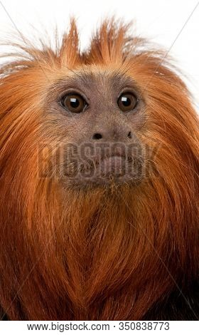 Close-up of Golden-headed Lion Tamarin, Leontopithecus chrysomelas, in front of white background