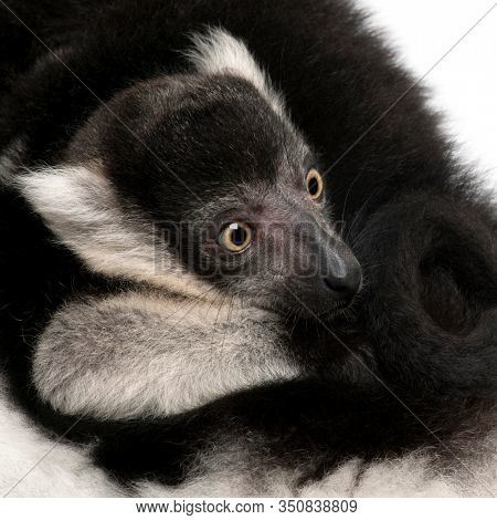 Close-up of Mother and baby Black-and-white ruffed lemur, Varecia variegata subcincta, 7 years old and 2 months old, in front of white background