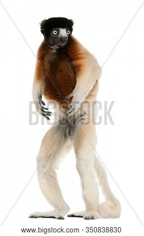 Crowned Sifaka, Propithecus coronatus, 14 years old, standing in front of white background