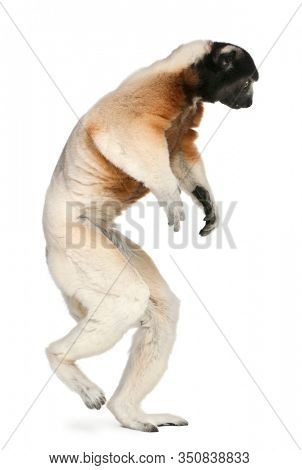 Crowned Sifaka, Propithecus coronatus, 14 years old, walking in front of white background