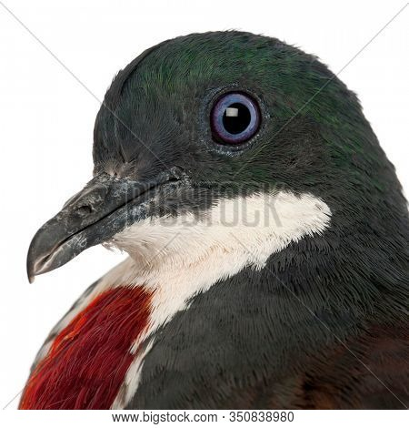 Close-up of Mindanao Bleeding-heart, Gallicolumba crinigera, adult, in front of white image