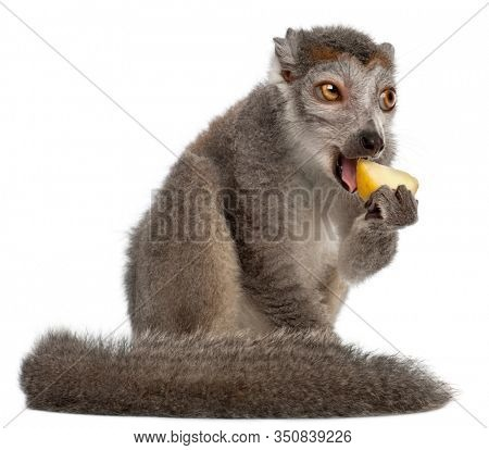 Crowned lemur, Eulemur coronatus, 2 years old, in front of white background