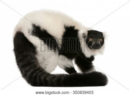 Black-and-white ruffed lemur, Varecia variegata, 24 years old, in front of white background