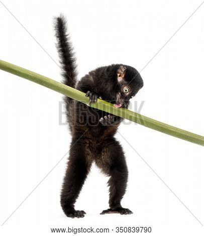 Young Blue-eyed black lemur playing with a bamboo stick, 3,5 months old, isolated on white