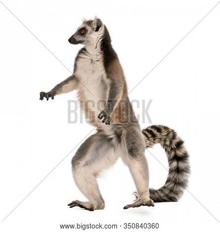 Ring-tailed lemur, Lemur catta, 7 years old, standing in front of white background
