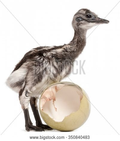 Darwin's Rhea with hatched egg, Rhea pennata, also known as the Lesser Rhea, 1 week old, in front of white background