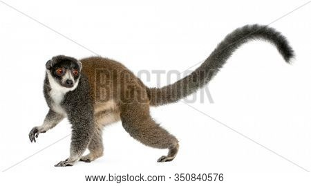 Female mongoose lemur, Eulemur mongoz, 24 years old, in front of white background