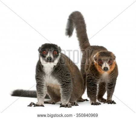 Female and male mongoose lemurs, Eulemur mongoz, 24 and 26 years old, sitting in front of white background