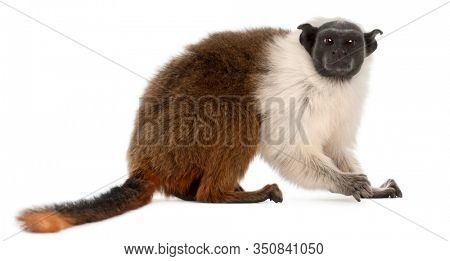 Pied tamarin, Saguinus bicolor, 4 years old, in front of white background