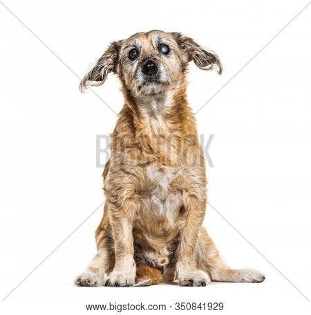 One-eyed blind, Crossbreed dog, isolated on white