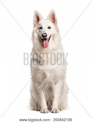 White Swiss Shepherd Dog, isolated on white