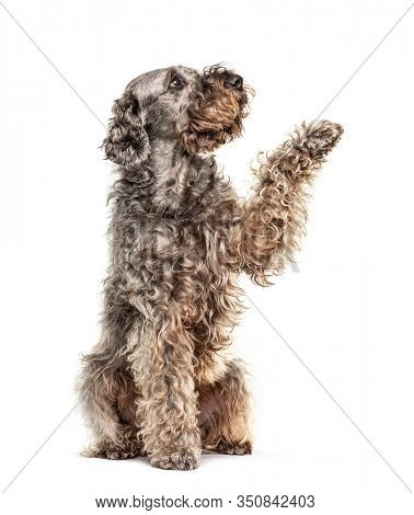 Gives paw crossbreed dog looking up, isolated on white