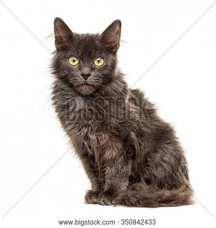 Grey Crossbreed cat, isolated on white, yellow eyes