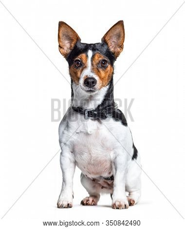 Sitting Jack Russell Terrier dog wearing a collar, isolated on white
