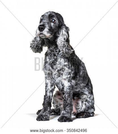 One-eyed blind, black and white, old Cocker Spaniel dog, isolated