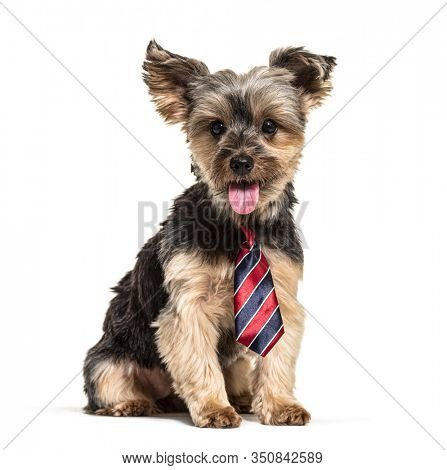 Panting Yorkshire Terrier wearing a scarf, isolated on white