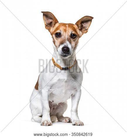 Sitting Jack Russel Terrier wearing a collar, isolated on white
