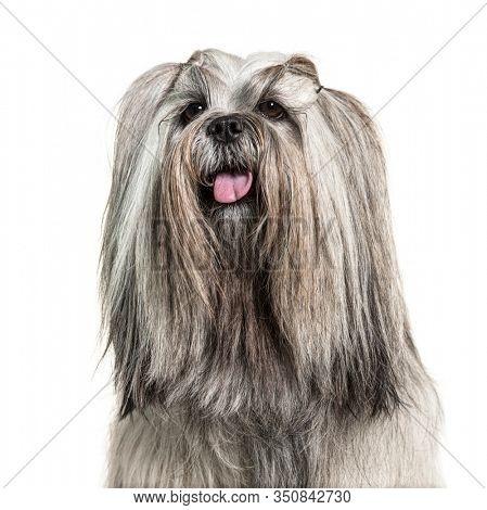 Headshot of a panting Groomed Lhasa apso dog, isolated on white