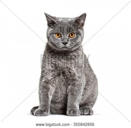 British shorthair cat sitting on a white background