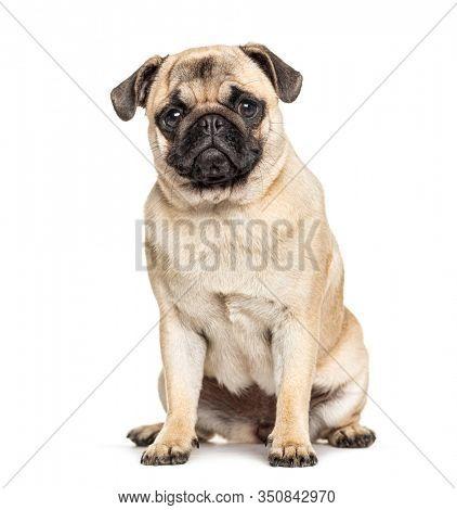 Sitting Pug, isolated on white