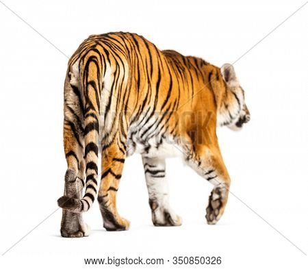 Back view of a tiger walking ok going away, big cat, isolated on white