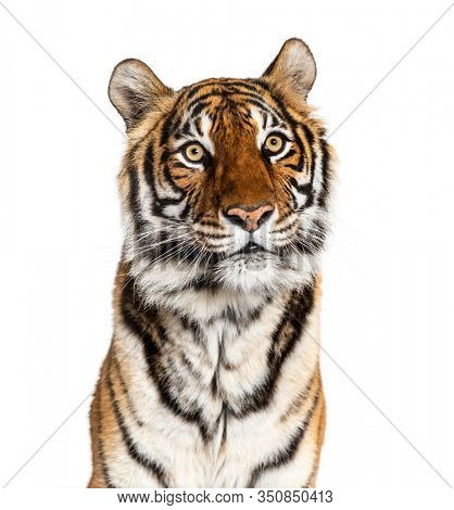 Close-up on a male tiger's head, big cat, isolated on white