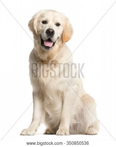 Golden retriever, dog, (16 months old), sitting and panting, isolated on white
