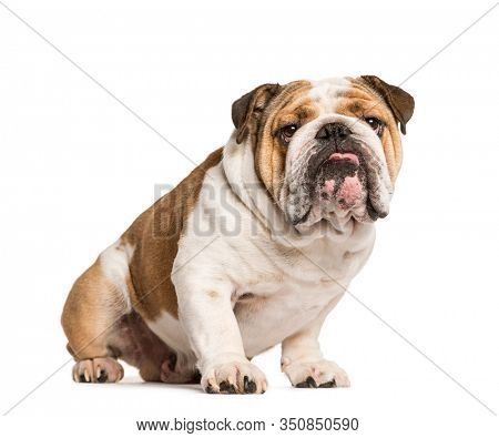 English Bulldog, dog sticking the tongue out, isolated on white