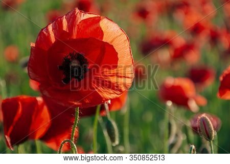 Open Bud Of Red Poppy Flower In The Field. Wonderful Sunny Afternoon Weather Of Mountainous Countrys