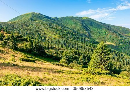 Mountain Scenery In The Morning. Coniferous Trees On Forested Hillside With Grassy Slopes. Wonderful