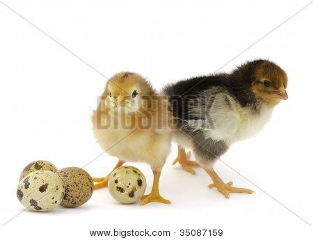 Nestlings chicken and quail eggs on a white background poster