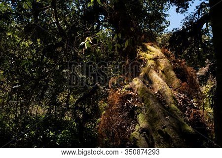 The Large Natural Tree In Doi Inthanon National Park In Chiang Mai, Thailand
