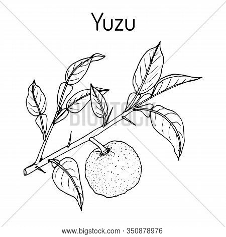 Yuzu Citrus Junos , Citrus Fruit. Hand Drawn Botanical Vector Illustration