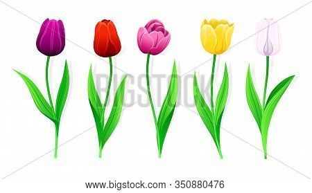 Collection Of Vector Pink, Yellow, Red, White, Purple Tulips With Stem And Green Leaves. Set Of Isol