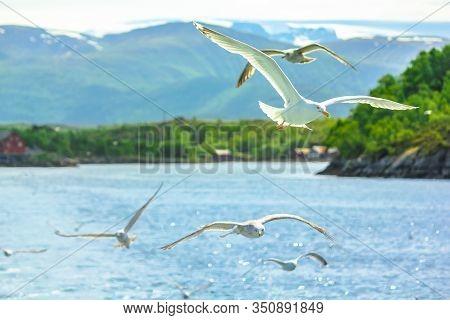 Seagulls Flying In The Fiord. Stavanger, Norway. A Standing European Herring Gull, Larus Argentatus,